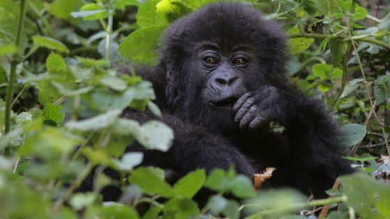 The recent tragic death of Harambe the gorilla at Cincinnati Zoo put mountain gorillas in the spotlight. There was an outpouring and love and concern for these gorgeous, majestic and severely endangered creatures, but how much do you really know about them?