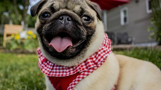 Pugs are the cutest dogs in existence and attract many types of owners. Find out what type of pug lover you are!