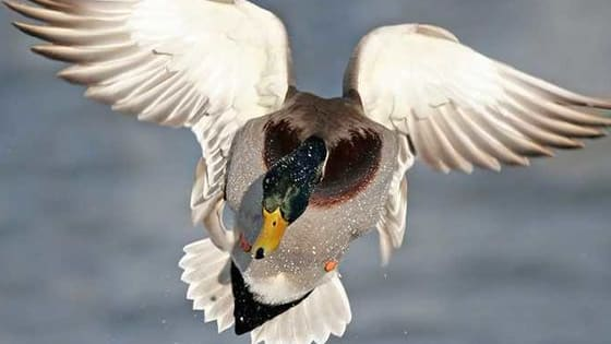 How many waterfowl species can you ID?