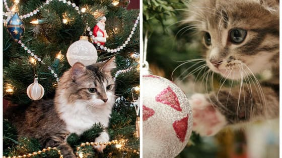 Cats, as the internet is now teaching us, apparently love Christmas trees more than humans do! Here are the three best ways cats can react to the sudden appearance of a shrub in their living room!