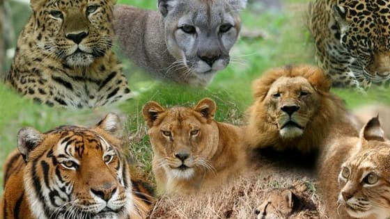 Find out which big cat you are!