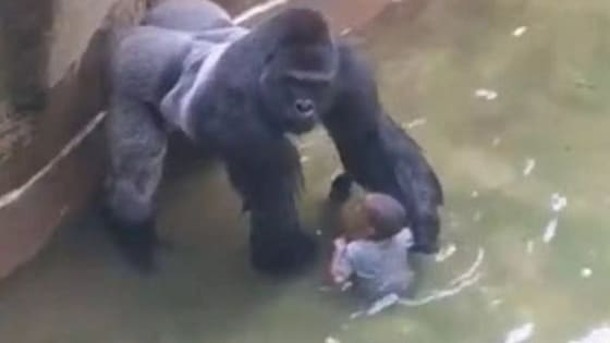 Cincinnati Zoo had shot their gorilla down after a child fell down into his cage.