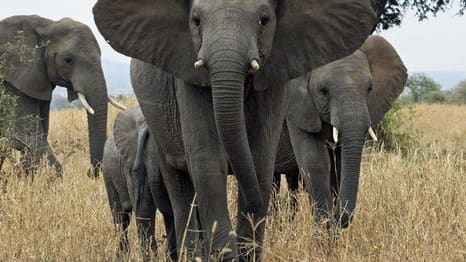 The Trump administration is readying to reverse the Obama era ban on the import of African elephant trophies. Interior Secretary, Ryan Zinke has also formed a council that is looking into lifting other trophy bans on animals, including lions. Trophy hunting, and the import of kills, is associated with the very wealthy in the United States. Two major supporters include the sons of President Trump, often posting photos of them hunting large game overseas.