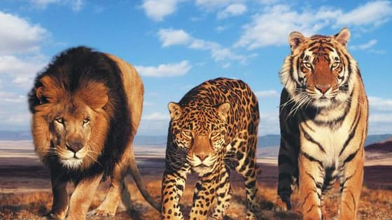 NOW UPDATED. This quiz is based on the performance, behavioral tendencies, social dynamics, hunting style, and preferred environments of the Big Cats in the wild - as well as the MBTI and Enneagram. This quiz focuses primarily on Genus Panthera (Lions, Tigers, Jaguars, Leopards, and Snow Leopards) but also includes Cheetahs and Cougars. It has been updated with a few new questions and input from recent scientific studies.