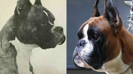 See if you can identify how these purebred dogs have changed through the years