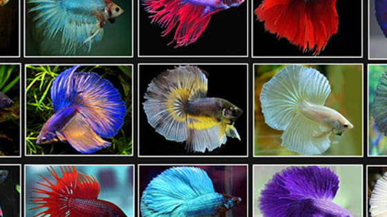 Are you a Halfmoon betta with beautiful, flowing fins? Or are you a fierce Plakat betta, ready to shred any opponent that comes your way? Find out what type of Betta you are with this quiz!