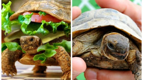"""""""There's no turtle in there, just a hamburger."""""""