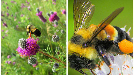 The rusty patched bumblebee has seen an 88% population decline since 1990. Find out more about what its new endangered status means for the bees here.