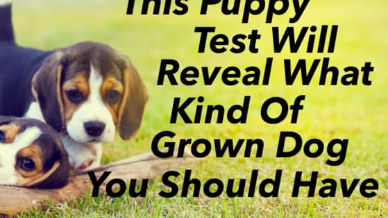 Puppies always get all the attention, they're just so cute and little and furry! But what about grown dogs! What kind of grown dog should you adopt based on your choice of puppies? Let's see!