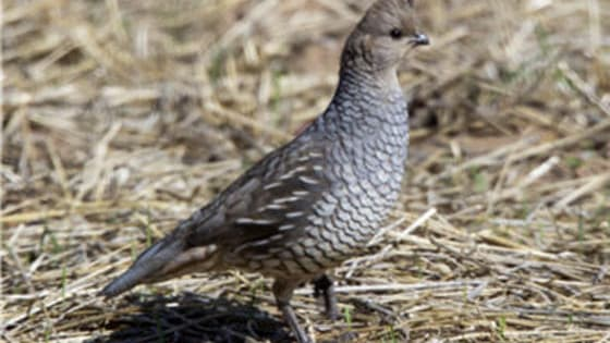 This quiz touches on all things feathered, but not web-footed from doves and quail to woodcock and pheasants. Here's to hoping you discover you possess a high I.Q. (in this case, that's I-nformation on Q-uail.)