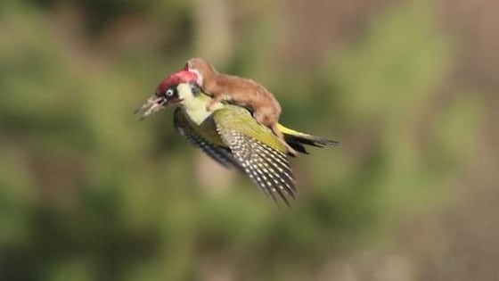 This picture was taken by an amateur photographer Martin Le-May at Hornchurch Country Park in east London. We don't want to ruin the lovable moment, but the weasel is actually trying to kill the poor bird. #Sorry
