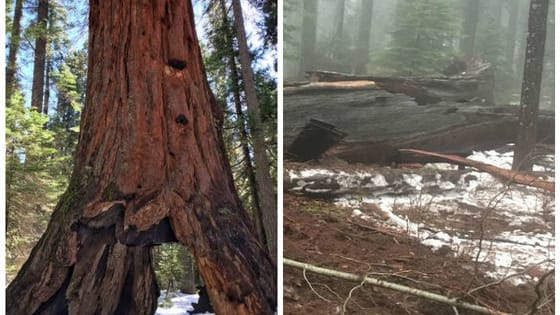 The giant sequoia featuring a tunnel large enough for cars to drive through was lost on January 8 in a winter storm. Here's what happened: