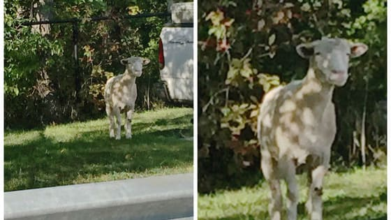 A fluffy farm animal seems to have escaped a fair in Canada, but there seems to be a bit of debate over what it actually is... sheep or goat?