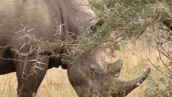 A court in South Africa recently made a controversial decision: it ruled that the country's ban on trade in rhino horn should be lifted. Can legal trade help save rhinos? Where do you stand?