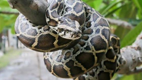 A quiz on the invasive Burmese Python Species