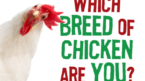 Are you a cock of the walk or a spring chicken? Answer these questions and find out which poultry breed you are most likely.   Share a tail feather and catch the quirky new flock-umentary, PECKING ORDER in UK cinemas from Friday 29th September 2017