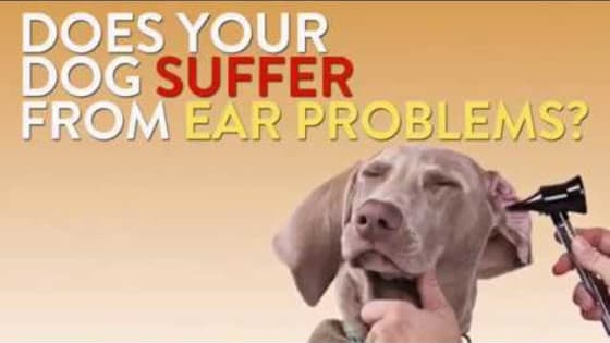If you see that your dogs is suffering from ear problem. But you don't find anything visual. It might be a bigger problem. Purotic Extra Strength by innovetpet provides the best solution for dog's ear problems. It can be the best solution for your dog. For more go to: https://www.innovetpet.com/products/p...  Visit our website: https://www.innovetpet.com Subscribe our channel: https://www.youtube.com/channel/UC6Qk...  Following Us...   Twitter: https://twitter.com/innovetpet1 Facebook: https://www.facebook.com/InnovetPet/ Instagram: https://www.instagram.com/innovetpetp... Pinterest: https://www.pinterest.com/InnovetPet1/  Purotic Extra Strength - Dog's Ear Problems Solution - https://youtu.be/lpLVgfl_6V4