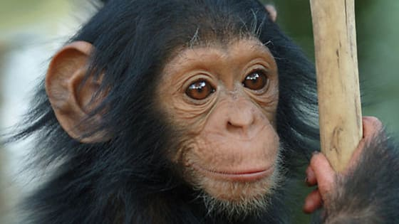 A gentle peaceful bonobo, a smart and inventive orangutan or a strong and determined gorilla.