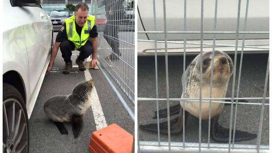 When this baby seal climbed under a car, it took a squad of officers to get him out and back to his home in the ocean!