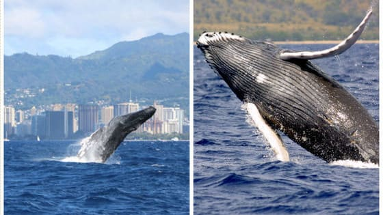 It's a great day for humpback whales and the people who love them! Most populations of the whale species are officially out of danger!