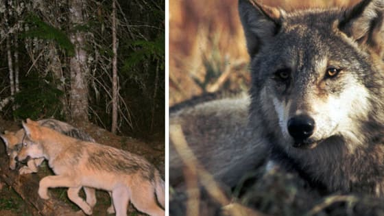 Washington is making the difficult decision to hunt down and kill a wolf pack that has killed and injured many local livestock, but the wolves' endangerment makes things a little complicated.