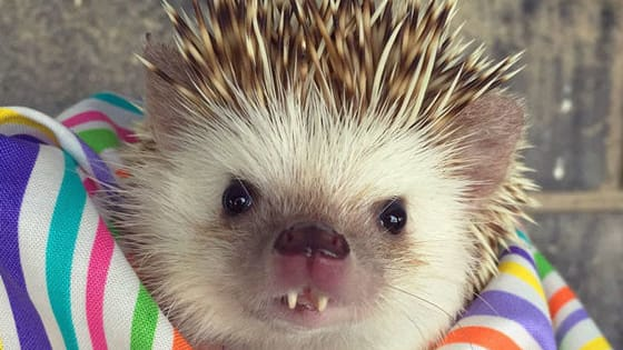 HIS NAME IS HUFF. HUFF THE HEDGEHOG.