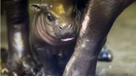 This West African hippo's birth was just announced and we can't wait to watch it grow.