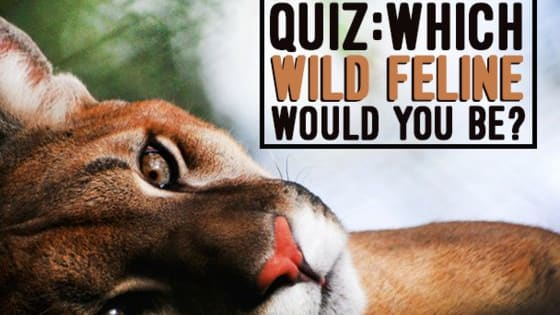From spots to stripes, loud roars to quiet purrs and large families to solitary lives; the wild felines of the world vary as much in appearance as they do in personality! But which one would you be?