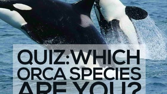 Were you under the impression that the only Orca Species in existence was the killer whale that was made famous in the film 'Free Willy'? Well extensive research in recent years has proven that there are in fact a whole number of different Orca Species swimming about in our oceans! Take our quiz to find out which one you would be...