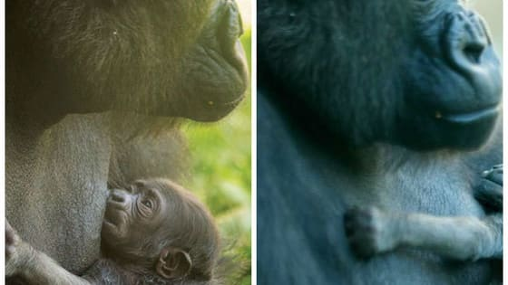 The Philadelphia Zoo has just announced its newest addition: an unbelievably cute western lowland baby gorilla.