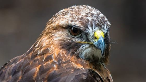 Test how much you know about Britain's birds of prey