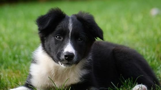 Think you are an expert at dog breeds? Can you, for example, tell the difference between a Shetland Sheepdog and a Collie when they are just a pup? Take our challenging quiz to see if you can identify each puppy's breed. Share your score in the comments!