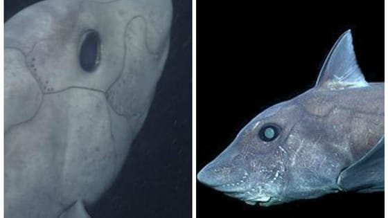 Scientists believe the strange creature to be the first pointy-nosed blue ghost shark, or chimaera, ever captured live on film! Find out more here!