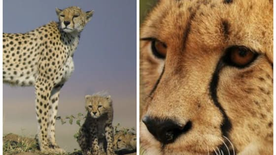It's a sad day for cheetahs as leading conservation groups call for them to be reclassified from 'vulnerable' to 'endangered.'