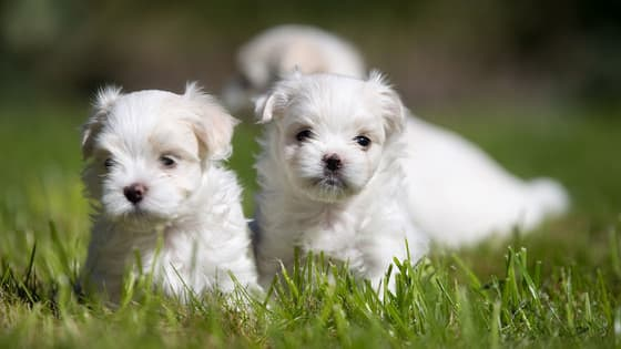 There are seven different breeds groups, each made up of dogs who were born and bred for specific jobs. Match the breeds to the group they belong to.