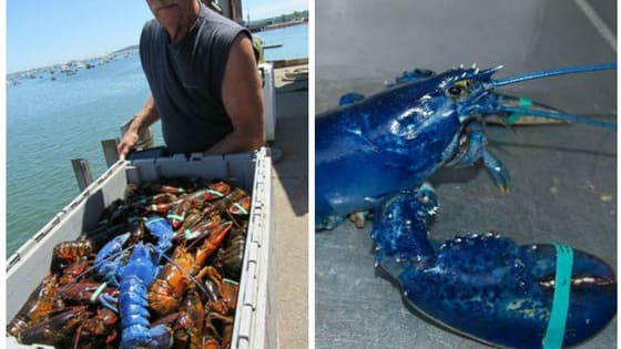 Massachusetts Lobsterman Wayne Nickerson hauled in a big catch of lobsters, but there was one very special lobster hiding in it!