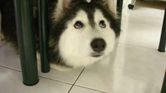 This dog is part husky and malamute, but it was raised by a house full of cats. Her name is Tally and she's the cutest cat-dog ever!