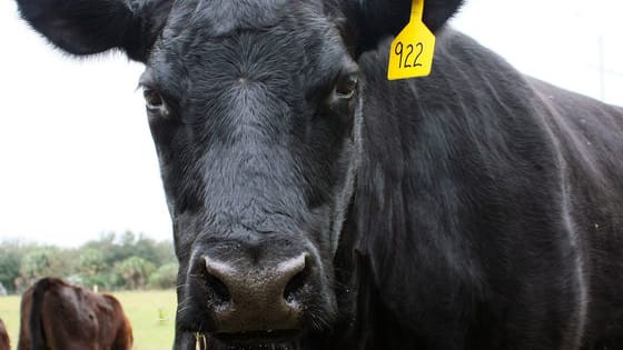 Think you know it all about Angus cattle? Take the quiz and prove it.