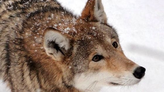 Are you a wolf? Coyote? Fox? Click here to find out!
