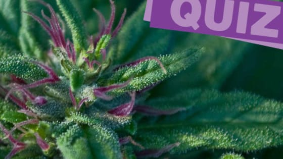 There are a lot of different strains out there, and it takes a real connoisseur to be able to tell the difference just by looks alone.