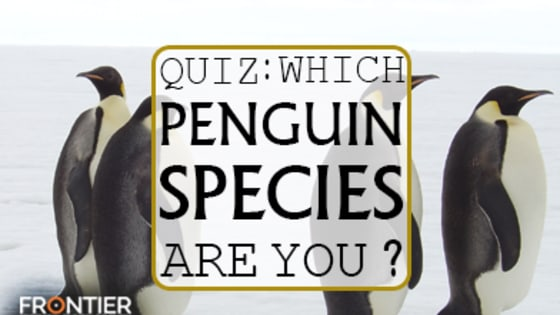 Are you a tough and independent Emperor Penguin living in the icy cold snow or are you more suited to the hot rays on an island with the other Galapagos Penguins? Take the quiz to find out which penguin species you really are!