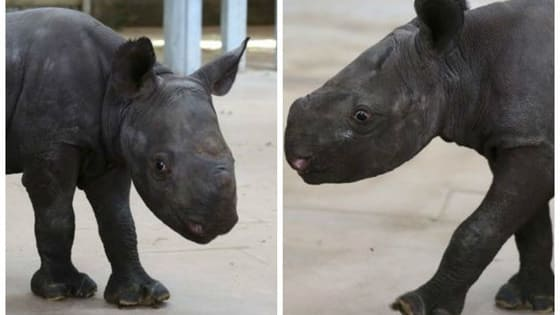 This sweet little eastern black rhino might help save her species one day!