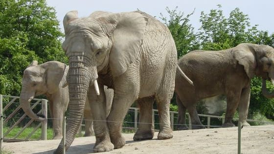 Overview: There were 7 elephants at the Toronto zoo. Between 2005 and 2009, 4 died. A decision had to be made about what to do with the remaining ones.
