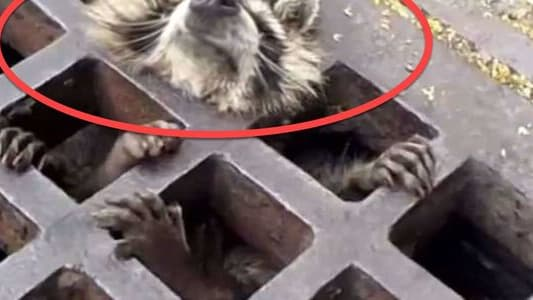 Who knows how many people might have seen the raccoon before her and continued on with their day. This girl's phone call saved a life and it's a great sign that there is some humanity in people.