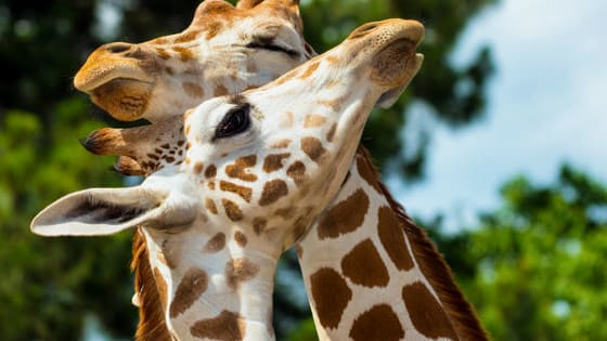 These curiously fascinating creatures are primarily known as acacia-eating African savanna dwellers, but few people know much more than that. Which is why you should take this quiz and learn more than you ever thought possible about giraffes!