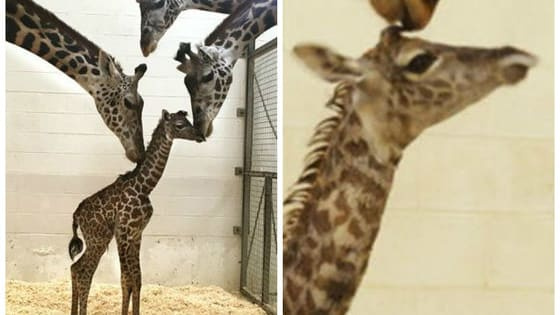 Baby giraffes can walk within an hour of birth, but their initial wobbles make their first steps even more heartwarming!