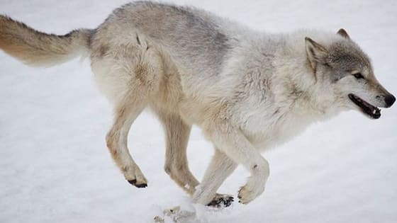 Wolves are amazing, intelligent, and stealthy canines. But how much do you know about them?