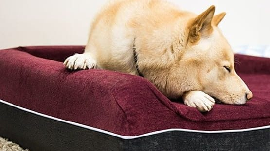 If you had to take a guess at what your dog is doing right now, chances are it's sleeping! Dog experts and scientists aren't sure exactly why dogs dose so much, but it is typically how they spend at least half of their day.