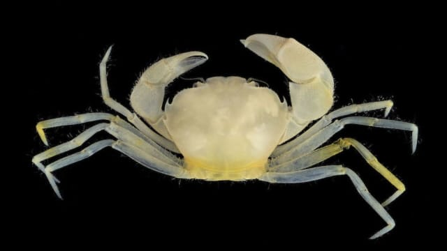 A newly studied crab found along the coasts of Guam has a magical new name! Find out more about Harryplax severus here!