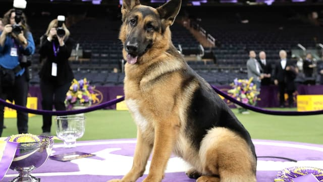 Rumor, a five-year-old German shepherd was the crowd favorite to win Westminster's Best in Show title last year but was beaten out at the last moment by a German shorthair. This year, she surprised everyone by coming out of retirement to claim the title. Find out more here!